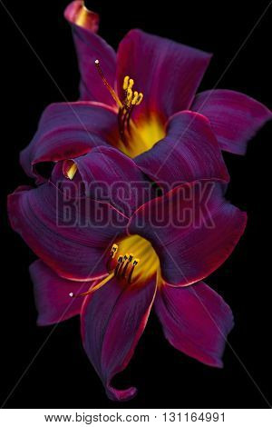 Velvety Burgundy and Gold Daylily on Black Background