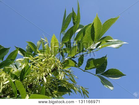Green ash-tree branch with samaras (Fraxinus) against the blue sky