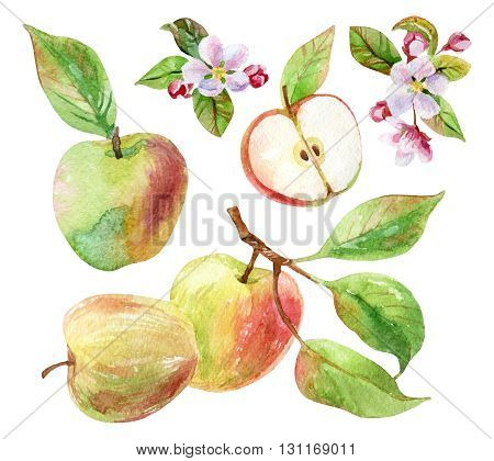 Apple branches with blossom leaves and fruits set. Watercolor apple fruit and apple bloom isolated on white background. Summer harvest. Fruit on branch with leaves collection. Hand drawn illustration