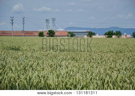 Green wheat (Triticum) field on blue sky in summer. Close up of unripe wheat ears. Field near silos, agricultural storage tanks