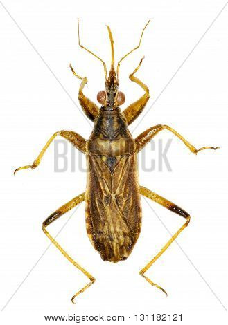 Grey Damsel Bug on white Background  -  Himacerus major (A. Costa, 1842)