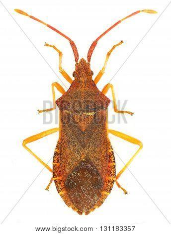 Box Bug on white Background  -  Gonocerus acuteangulatus (Goeze, 1778)