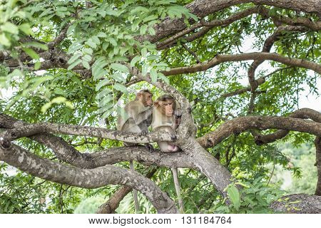 monkeys grooming in the trees near Manallapuram India