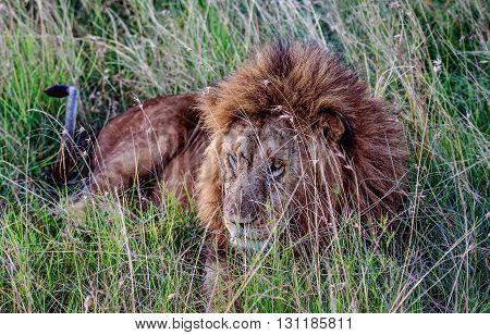 African Lion resting in the grass Kenya