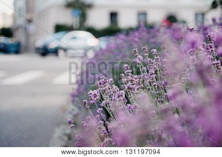 Beautiful lavender garden with fresh and colorful lavender and with a luxury house in the background