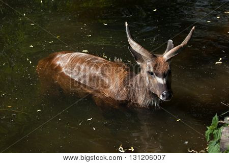 Forest sitatunga (Tragelaphus spekii gratus), also known as the forest marshbuck. Wildlife animal.