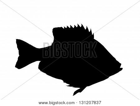 Bluegill sunfish silhouette isolated over a white background with path
