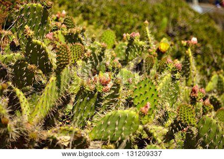 Flowering cactus and Indian blanket wildflowers in Malibu