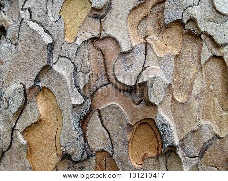 Patterns in the flaking bark of a Ponderosa Pine tree