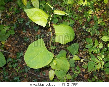 A young Japanese knotweed plant which can seriously damage property and structures if left untreated.