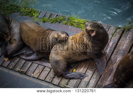 Taken at Newport Oregon along the Historic Newport Docks. These male sea lions make quite the ruckus on