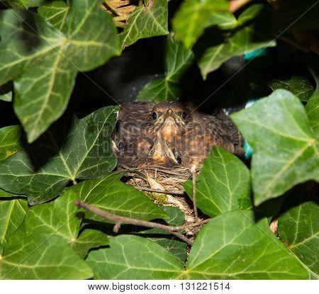 Two nestlings of an eurasian blackbird hidden between ivy leaves in their nest in the garden.