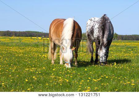 Haflinger And Knabstupper Horse On A Meadow.