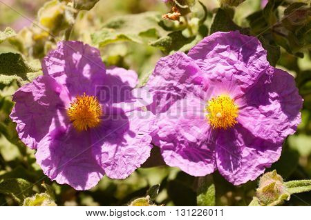 Cistaceae are rock-rose or rock rose flowers known for their beautiful shrubs which are profusely covered by flowers at the time of blossom.