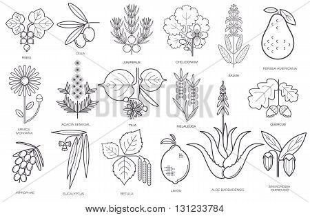 Set of medical herbs plants flowers berries. Currant olive juniper celandine sage avocado arnica acacia linden tea tree oak buckthorn eucalyptus birch lemon aloe jojoba. Vector