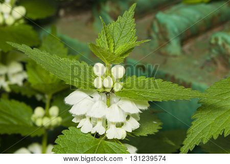 White dead-nettle Lamium album weed blooming close-up selective focus shallow DOF