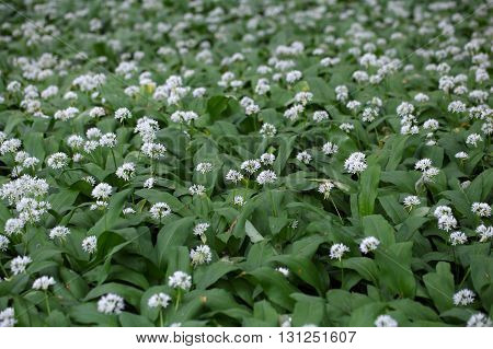 Flowers of wild garlic or ramsons Allium ursinum a wild form of garlic used as food.
