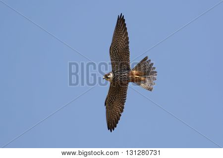Hobby (Falco subbuteo) in flight against a blue sky. poster