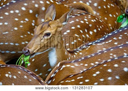 Spotted deers or chitals (Axis axis) in zoo in Thiruvananthapuram Kerala India