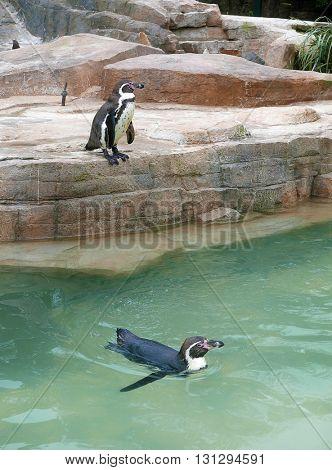 Two penguins in enclosure in safari park