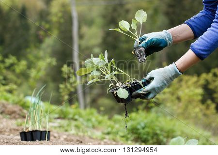 Gardener preparing broccoli seedlings for planting in freshly ploughed garden beds. Organic gardening healthy food nutrition and diet self-supply and housework concept.