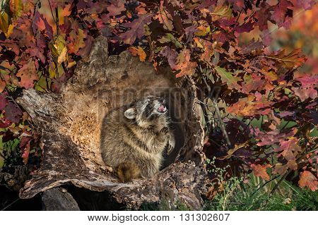 Raccoon (Procyon lotor) Cries Out Inside Log - captive animal