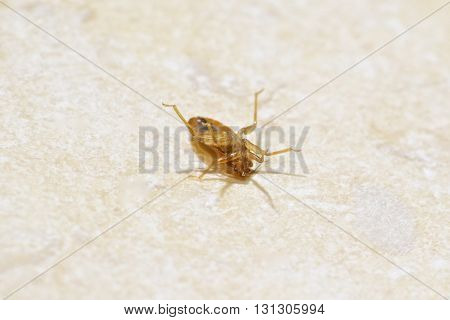 A Macro Photo of a Bed Bug