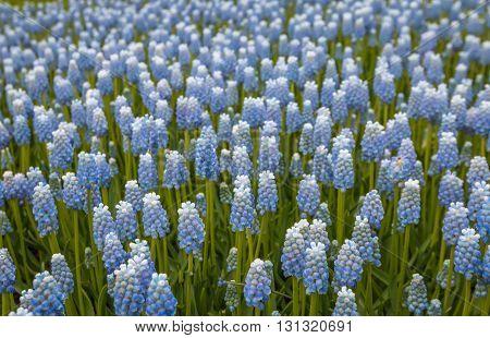 Blue flowers during spring in Holland flower park