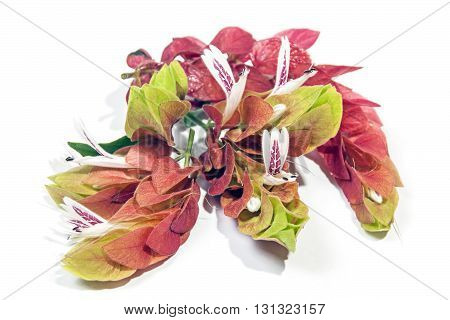 Colorful Flowers Of The Pink Prawn Plant