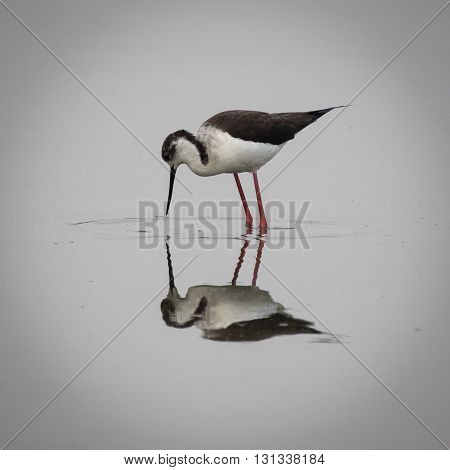 Black-winged stilt or common stilt or pied stilt reflecting in still swamp water
