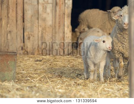 Sheep with young sheep. For mother's day.