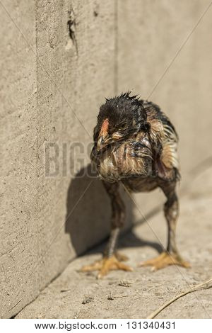 Newborn chick turkey stands wet at the fence