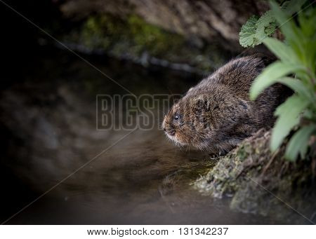 Water vole sitting on waters edge with reflection