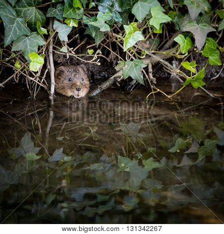 Wild Water vole peeping from burrow in ivy
