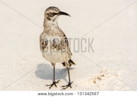 Galapagos Hood Mockingbirds