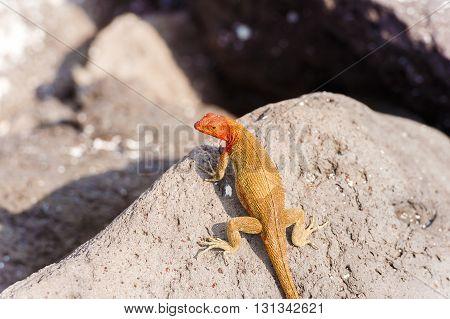 Lava Lizard, Microlophus Grayii