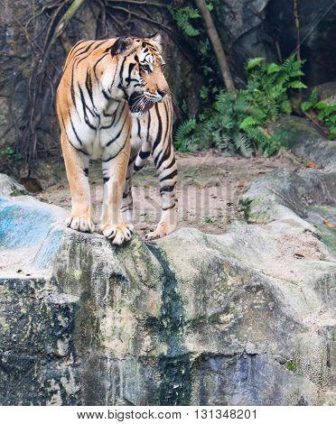 Close up of Sumatran tiger on the rock