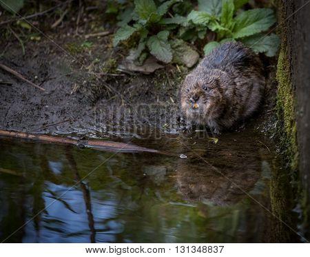 Wild water vole sat near wall showing teeth