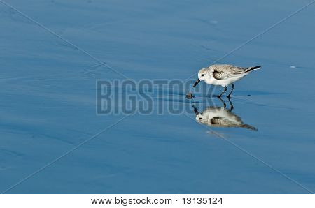 Snowy Plover (Charadrius alexandrinus nivosus) is a small shorebird distinguished from other plovers (family Charadriidae) by its small size, pale brown upper parts, dark patches on either side of the upper breast, and dark gray to blackish legs. poster