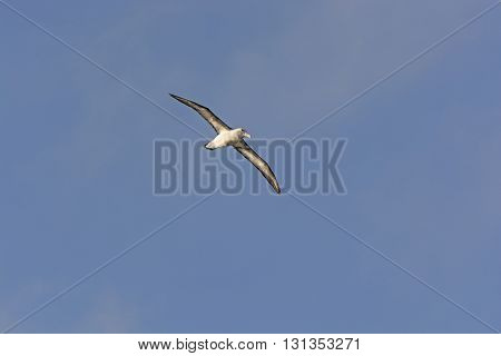 Wandering Albatross in Flight around Cape Horn in South America