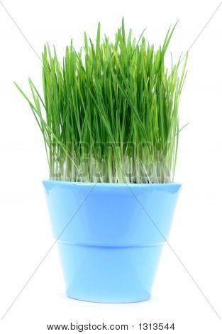 Green Gras In A Pot