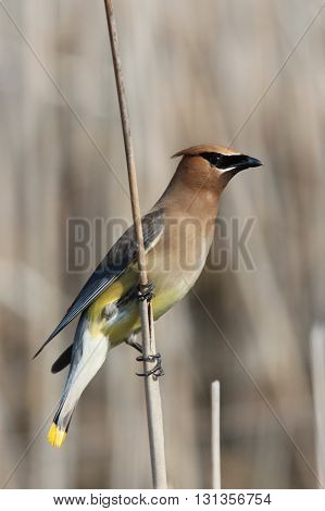 Cedar waxwing sitting on a perch taken in Boyne Michigan