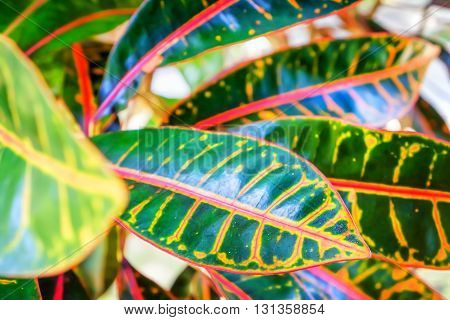Abstract background of Thai garden. Colorful Leaves of the croton plant or Codiaeum variegatum. Selective focus.