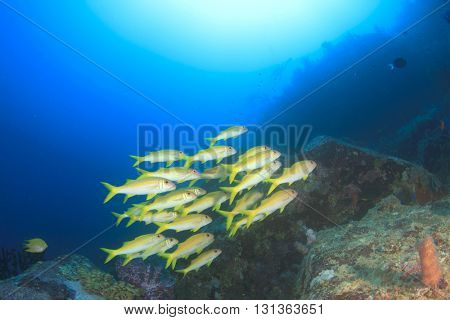 Underwater coral reef in ocean with fish (Yellowfin Goatfish) poster