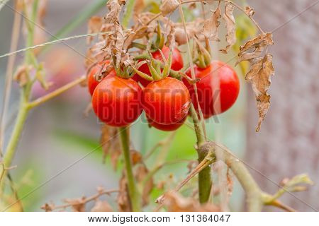 Wild Tomato Love Apple Lycopersicum esculentum Mill