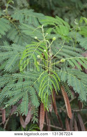 close up fresh green Leucaena glauca Benth plants in nature garden