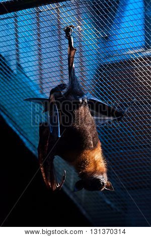 Lyle's flying fox (Pteropus lylei). Wild life animal.