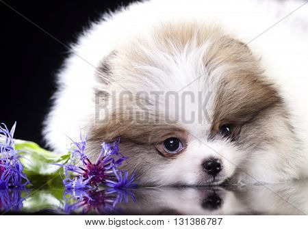 Spitz white and lilac color