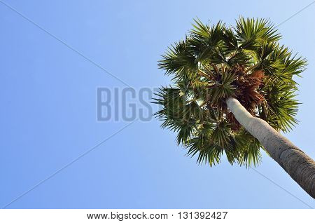stand alone Palm tree with blue sky background.