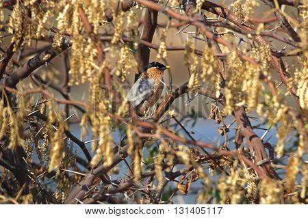 Brahminy Starling Sturnus pagodarum Bird in Thorn Tree